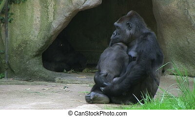 Gorilla Holding Baby - Western Lowland Gorilla holding baby.