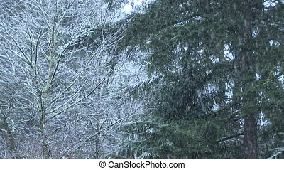 Snow Falling on Pines - Winter day with snow falling on...