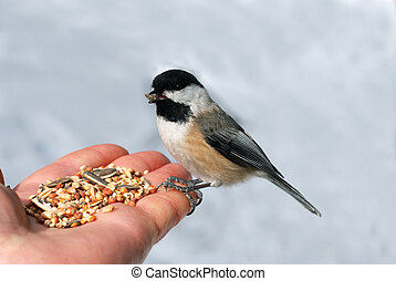 Black-capped chickadee Poecile atricapilla on a hand