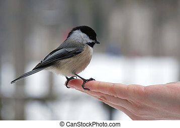 Black-capped chickadee (Poecile atricapilla) on a hand