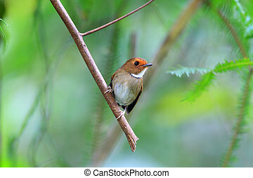 Rufouns-browed Flycatcher Anthipes solitaris in Frasers...