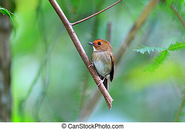 Rufouns-browed Flycatcher (Anthipes solitaris) in Fraser's...