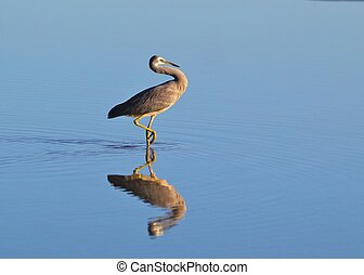 White-faced heron wading in tidal pool - A white-faced heron...