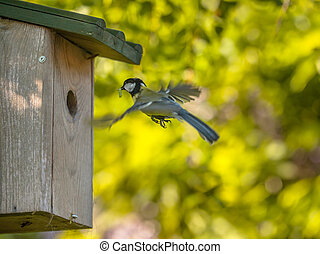 Flying Great Tit - Parent Great Tit (Parus Major) arriving...