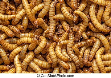 Mealworm Background - Background of many living Mealworms...