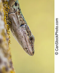 Italian Wall Lizard (Podarci siculus) Looking down from a tree