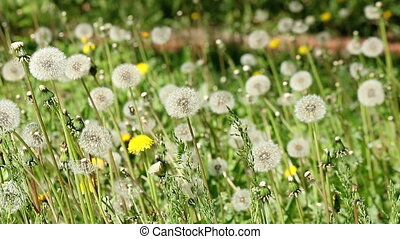 dandelion meadow spring season
