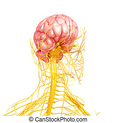 Human brain with nervous system - 3d rendered illustration...