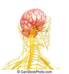 Human brain with nervous system - 3d rendered illustration...