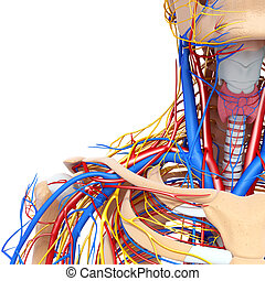 Circulatory system of shoulders - 3d rendered illustration...