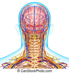 Circulatory System of human head - 3d rendered illustration...