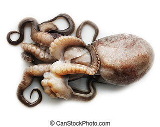 Octopus on white background - Small octopus isolated on...