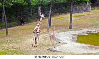 family of giraffes - A young giraffe and his mother (Giraffa...