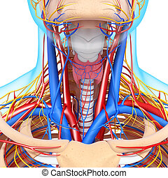 Circulatory system of human thyroid - 3d rendered...