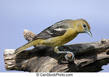 Baltimore Oriole Icterus galbula on a tree stump with a blue...