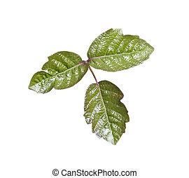 Veneno, roble, hojas, aislado