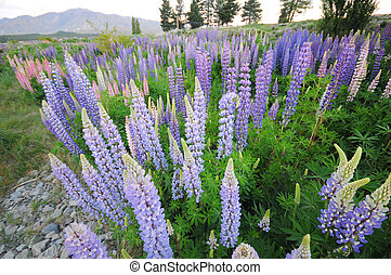 Lupine - Picture of Lupine at New Zealand.