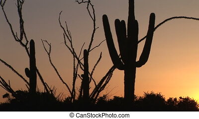 Ocotillo and Saguaro Cactus at Sunrise - Ocotillo and...