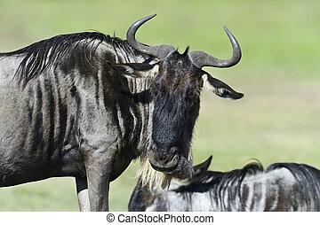 Wildebeest in Masai Mara National Park Kenya