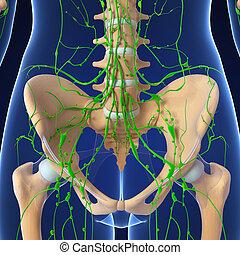 linfático, Sistema, humano, pelvis
