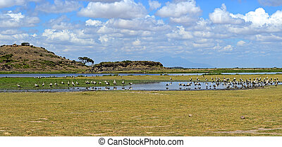 White stork - A flock of white storks in the African...