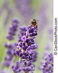 sauvage, lavande, abeille