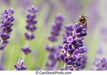 sauvage, abeille, lavande