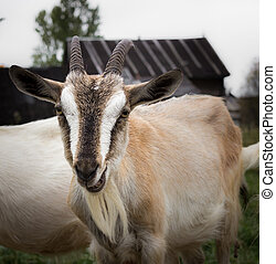 Rural goat - Adult goat village Alpine breed with large...