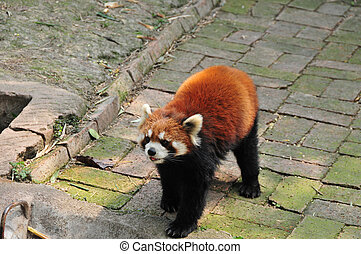 Red Panda, or firefox