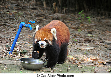 Red Panda, eating with her hands