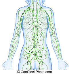 Lymphatic system of female body - 3d rendered illustration...