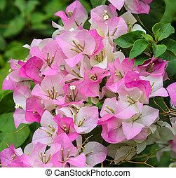 Bougainvillea flower  - Bougainvillea or paper flower