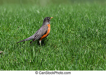 Robin in the lawn - Close up shot of Robin bird in the lawn