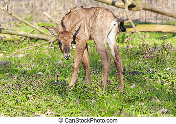 Roan antelope (Hippotragus equinus) baby