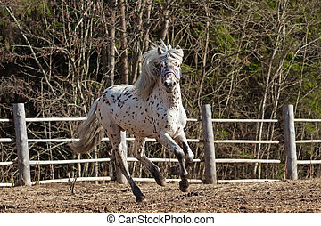 Altai horse - Young stallion of Altai breed galloping...
