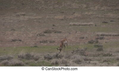Pronghorn Antelope Buck - a buck pronghorn antelope on the...