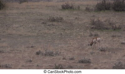Pronghorn Buck in Rut - a rutting pronghorn antelope buck