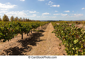 Grape vines for wine production - Vineyard in western...