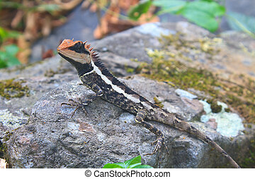 Greater spiny lizard, Acanthosaura armata, black faced...