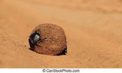 Dung beetles rolling their sand covered dung ball, South...