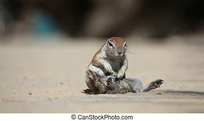 African ground squirrel Xerus inaurus grooming, Kalahari...