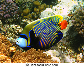 Emperor angelfish in Red sea - Emperor angelfish and coral...