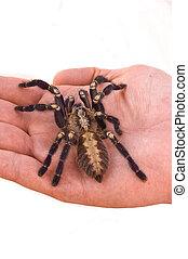 Tarantula - Large Tarantula in a hand