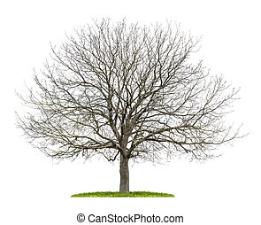isolated walnut tree in the winter