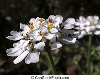 iberis - beautiful flower iberis. close-up