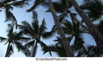 Palm Trees - Looking up at palm trees, Hawaii, Big Island