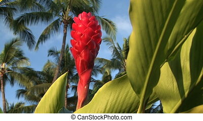 Pink Ginger Flower - Pink flower from a ginger plant,...
