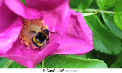 Bee and pollination,close up