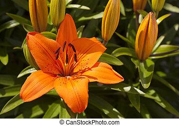 naranja, asiático, Lirio