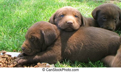 Lab Puppies Resting - Chocolate Labrador puppies resting